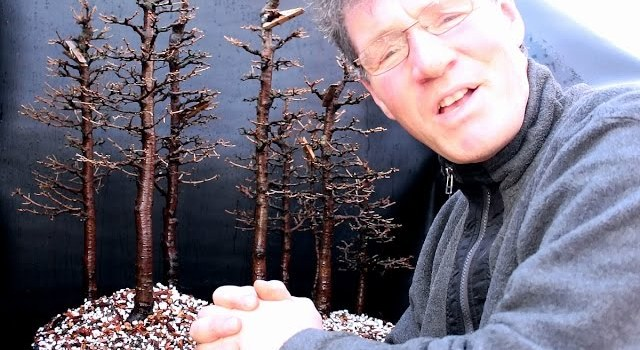 Larch Bonsai Forest Repotting Part 4