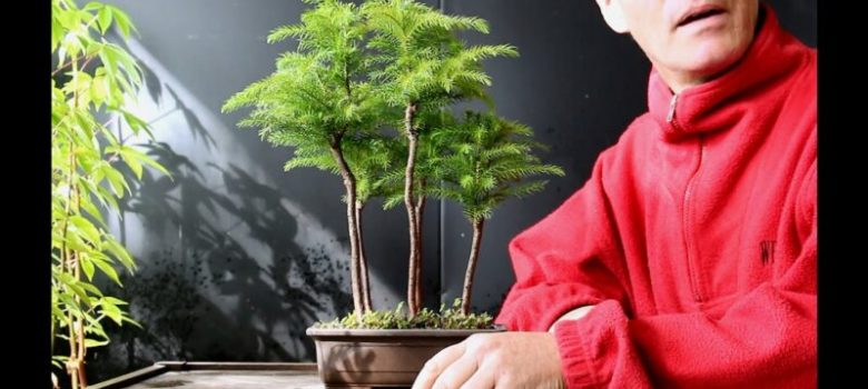 Norfolk Island Pine Bonsai forest