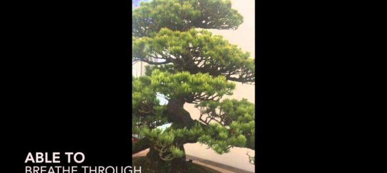 Repotting 200 Year old Bonsai Trees