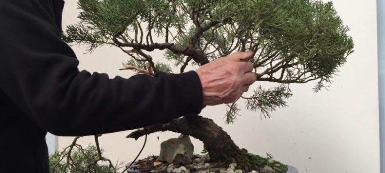 Styling and repotting an old Juniper bonsai tree