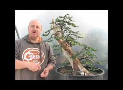 English Yew Bonsai - Give a Stump a Chance