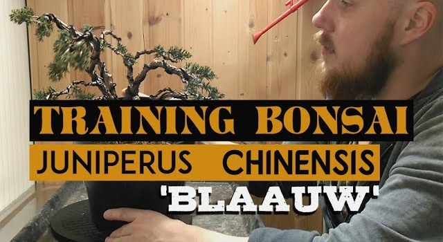 Repotting Juniper (Chinensis 'Blauuw')