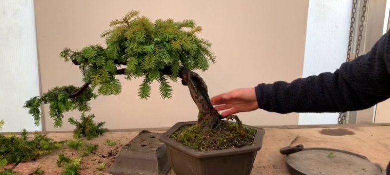 Shaping a Yew Bonsai