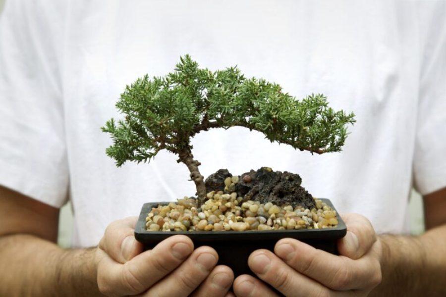 Small windswept style juniper bonsai