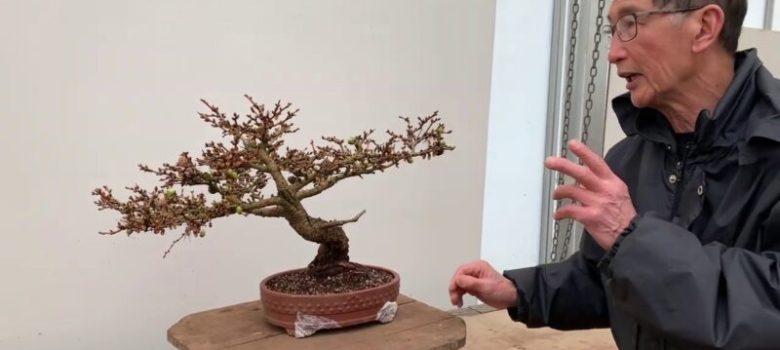 Shaping a Larch Bonsai
