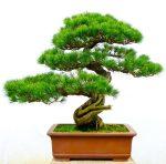 How to Make a Moyogi Style Bonsai Tree