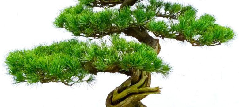 Moyogi Style Bonsai Tree