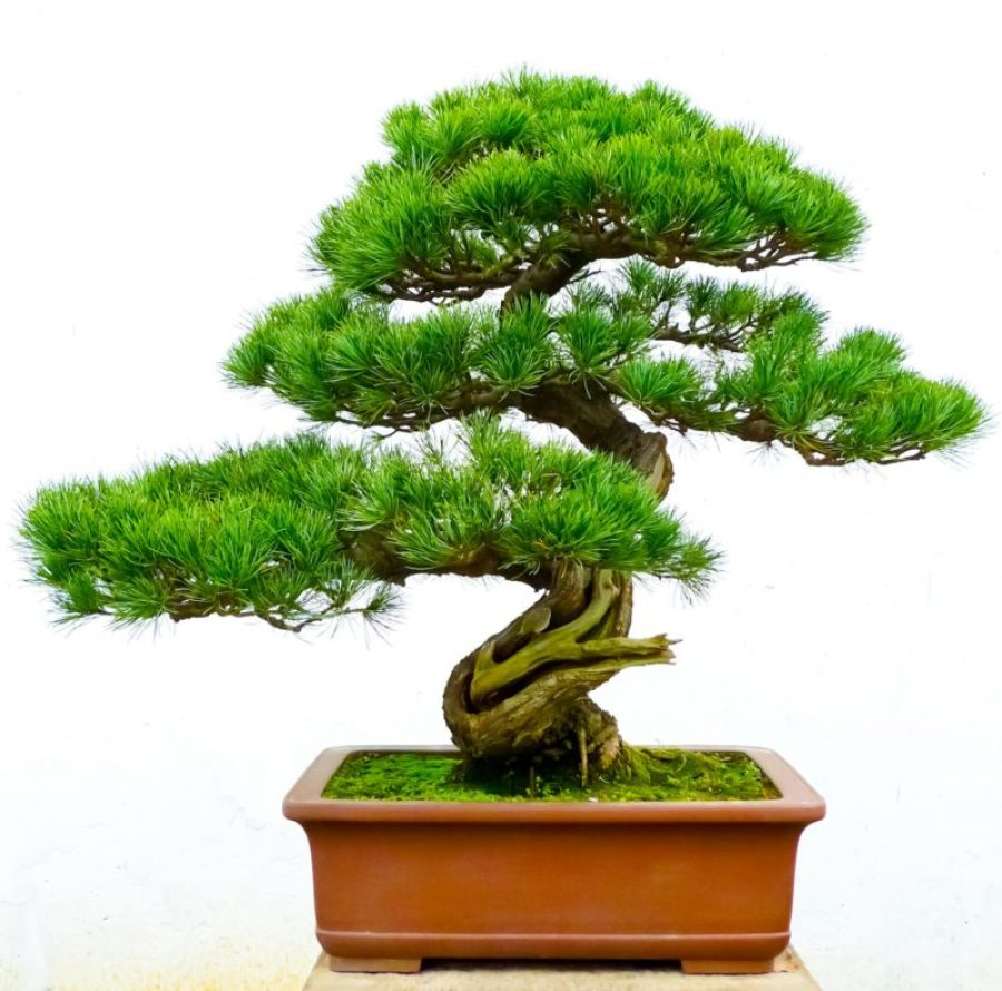 Awesome How To Make A Moyogi Style Bonsai Tree The Bonsai Seed Wiring Cloud Hisonuggs Outletorg