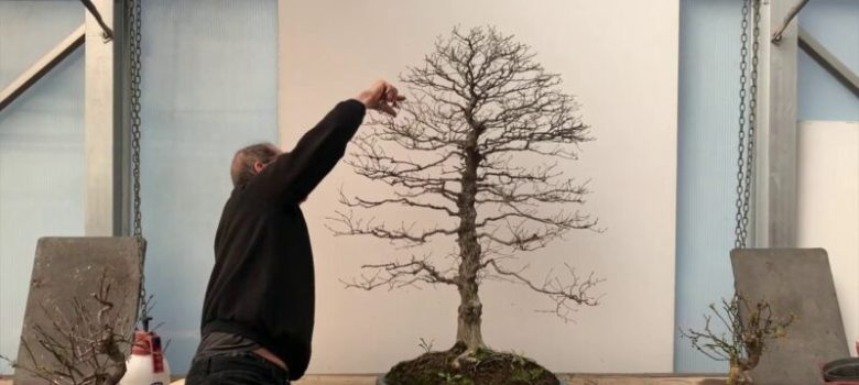 Trimming and Root Pruning Korean Hornbeam Bonsai