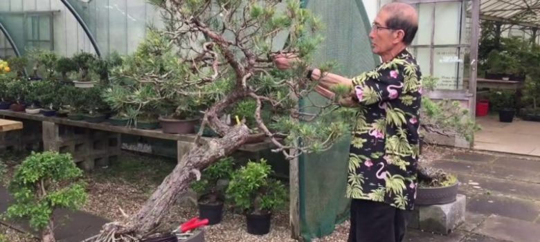 How to Prune and Shape Scots Pine Bonsai
