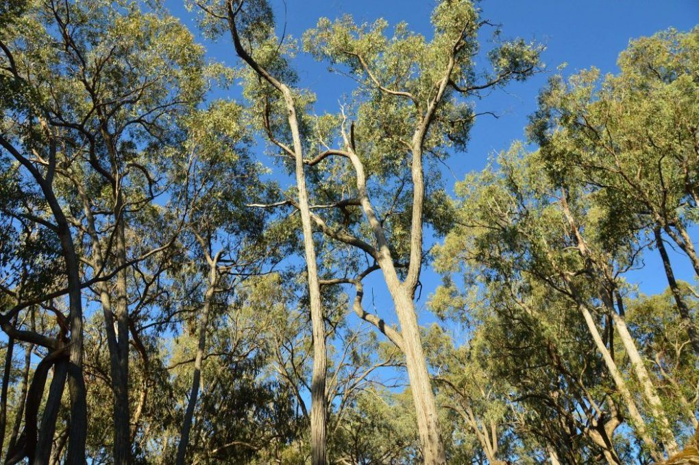 gum trees near the golden door spa NSW