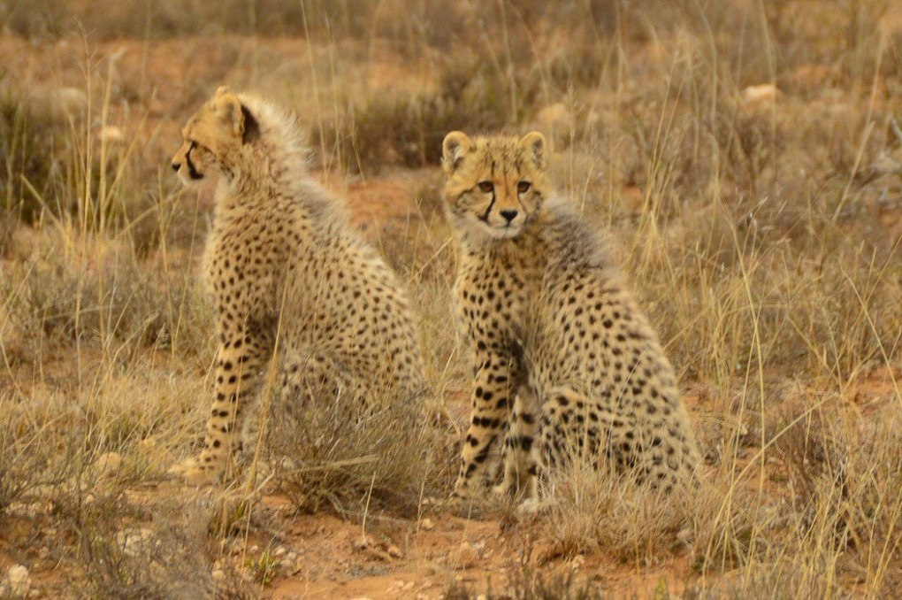 two cheetah cubs on the savanah