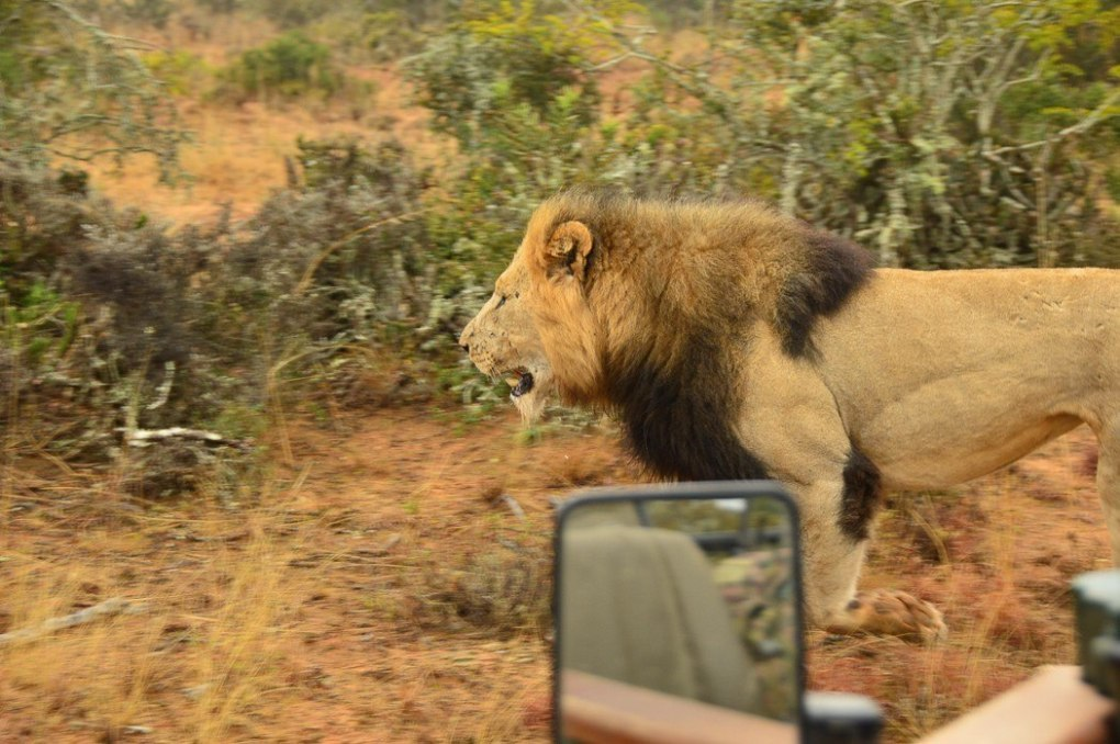 male lion walks past a vehicle in africa