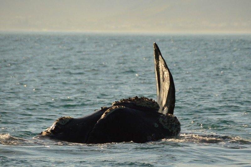 hermanus whale watching season