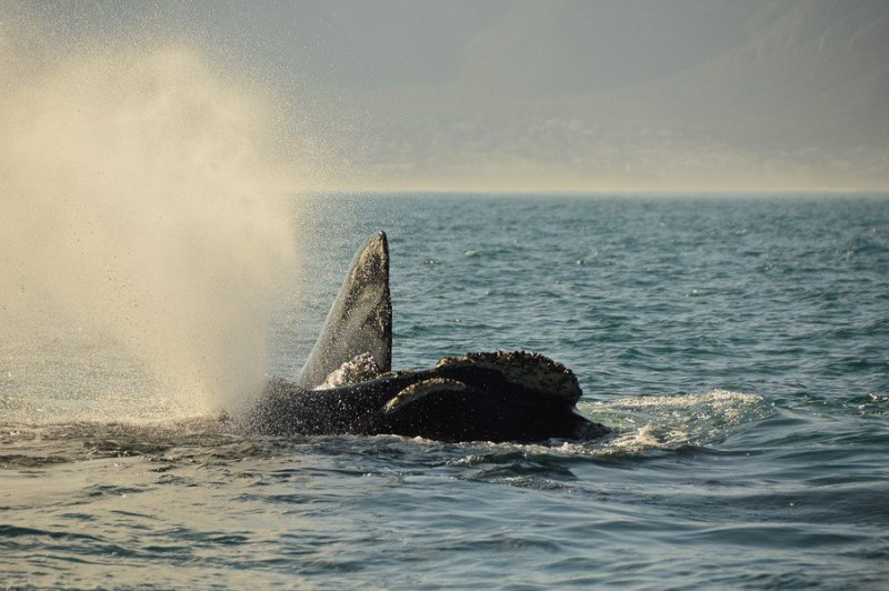 whale watching hermanus boat trip