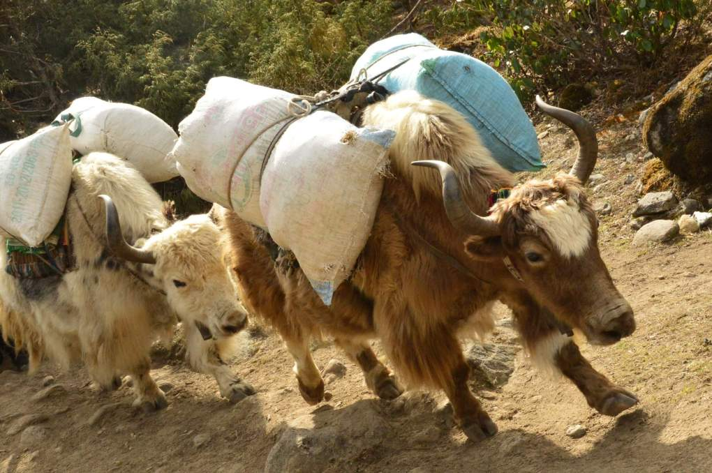 yaks carrying suppliers heading up the everest base camp trek