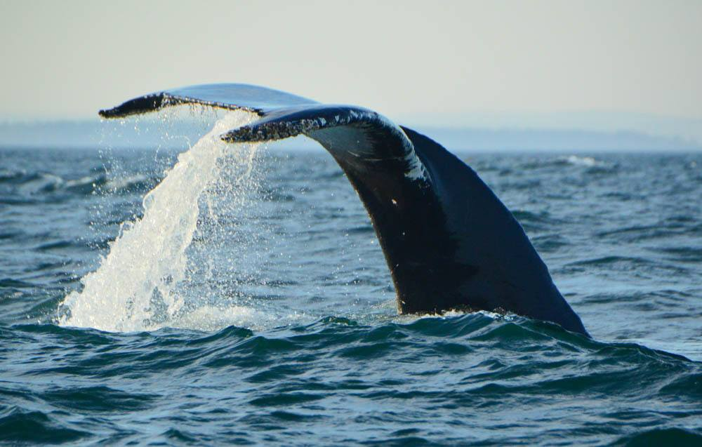 canada_new-brunswick_bay-of-fundy-whale-humpack-tail-with-water
