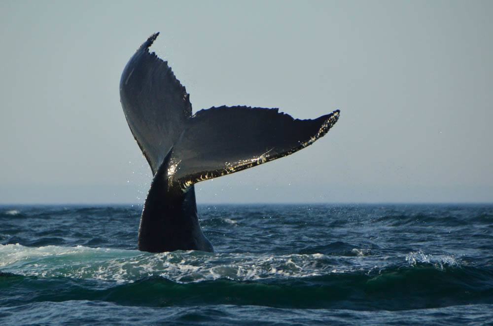 canada_new-brunswick_standrews-whale-humpack-tail
