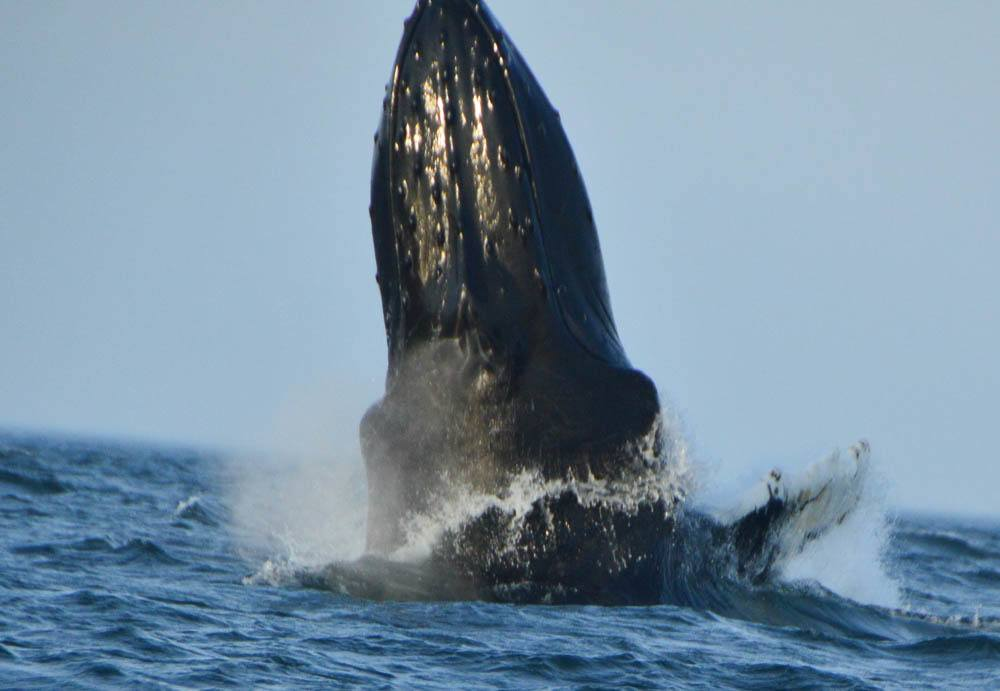 canada_new-brunswick_standrews-whale-watching-tour-humpack-breac