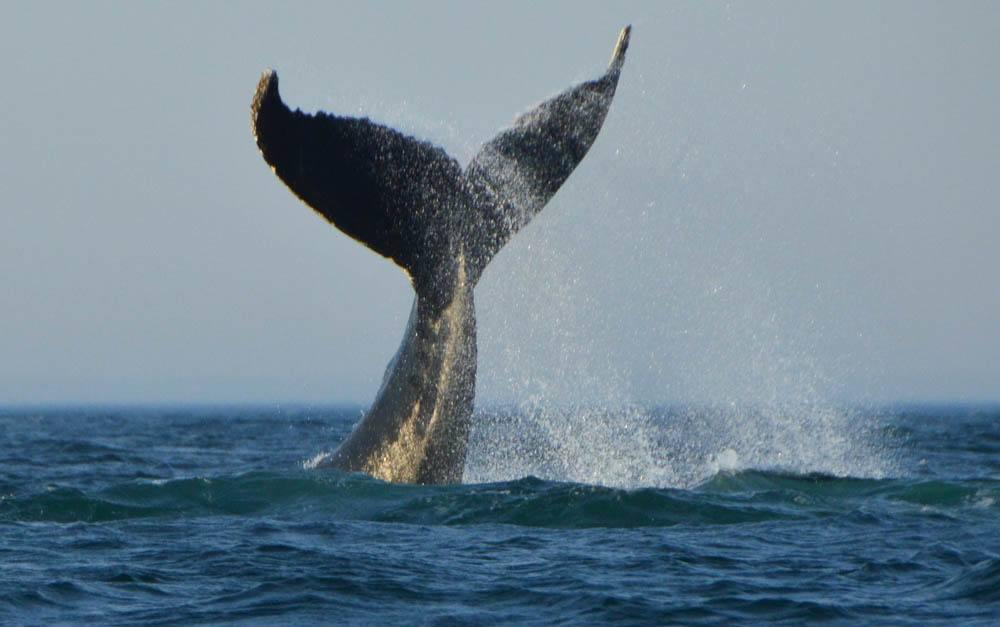 canada_new-brunswick_standrews-whale-watching-tour-humpack-tail-