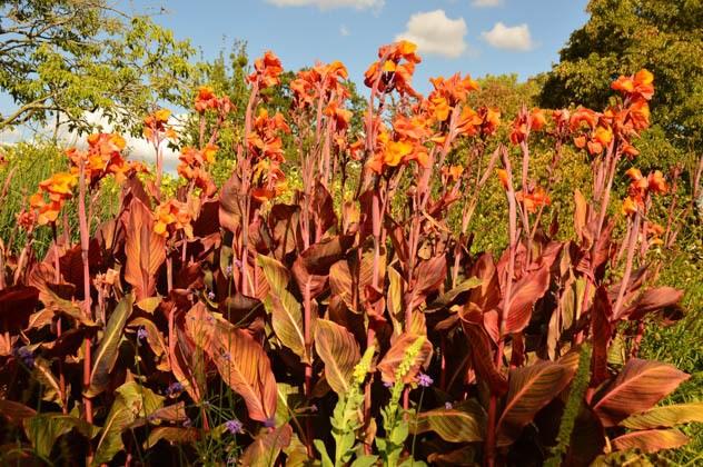 england_romsey_harold-hillier-gardens-orange-lillies