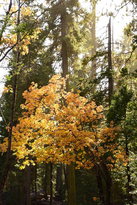 california_yosemite_trees-1