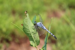 A dragonfly eats a healthy lunch in a Virginia State park