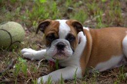 Doyle the little bulldog