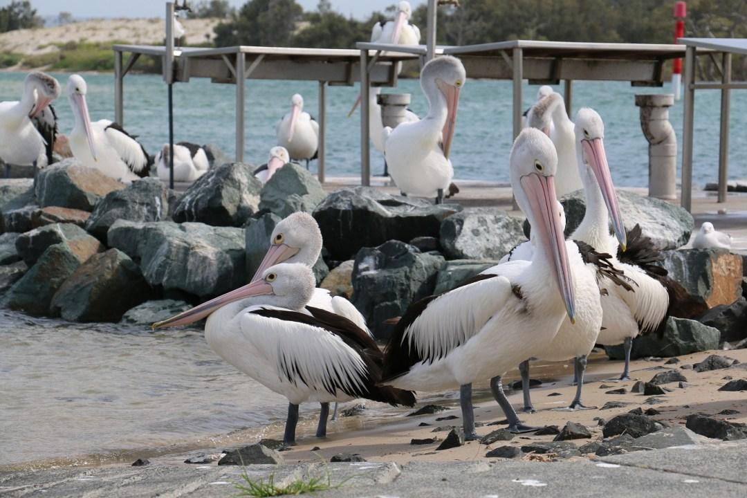 forster-pelicane-thebraidedgirl