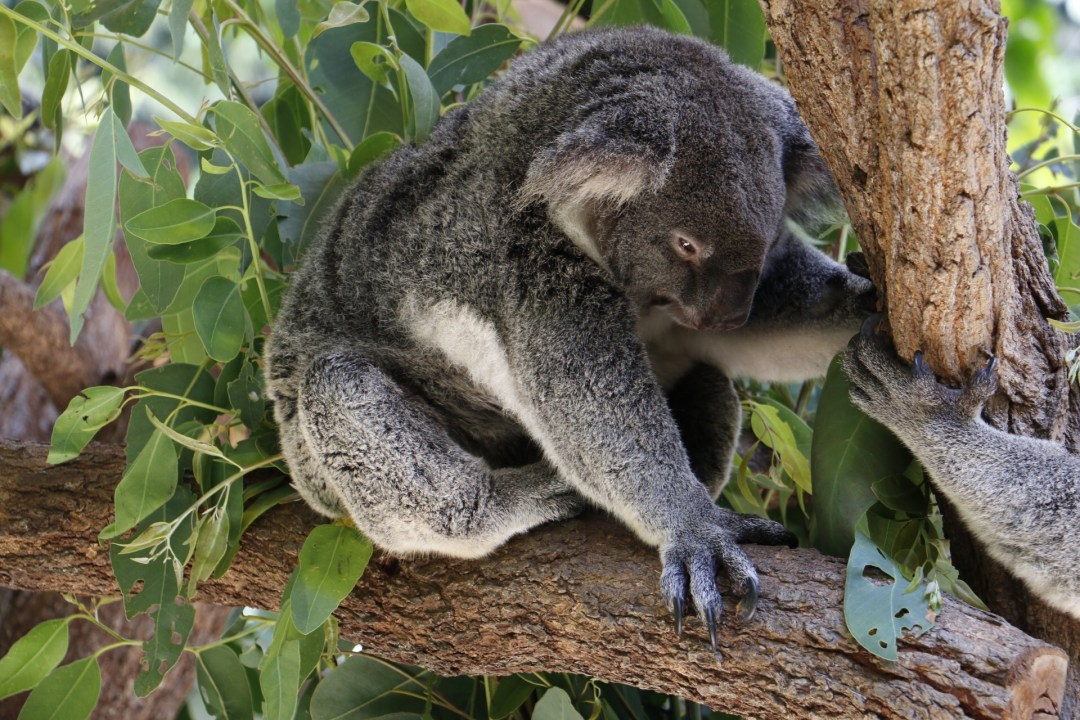 Kuranda-Koala-Gardens-thebraidedgirl