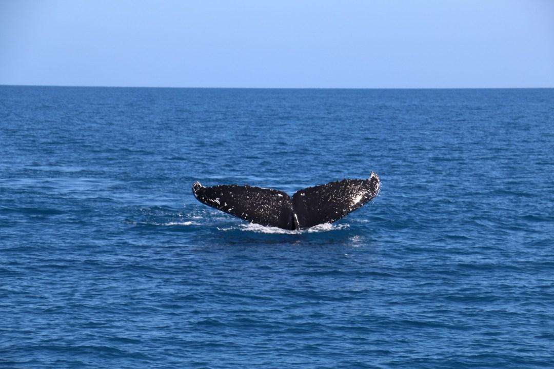 whale-watching-hervey-bay-7-thebraidedgirl