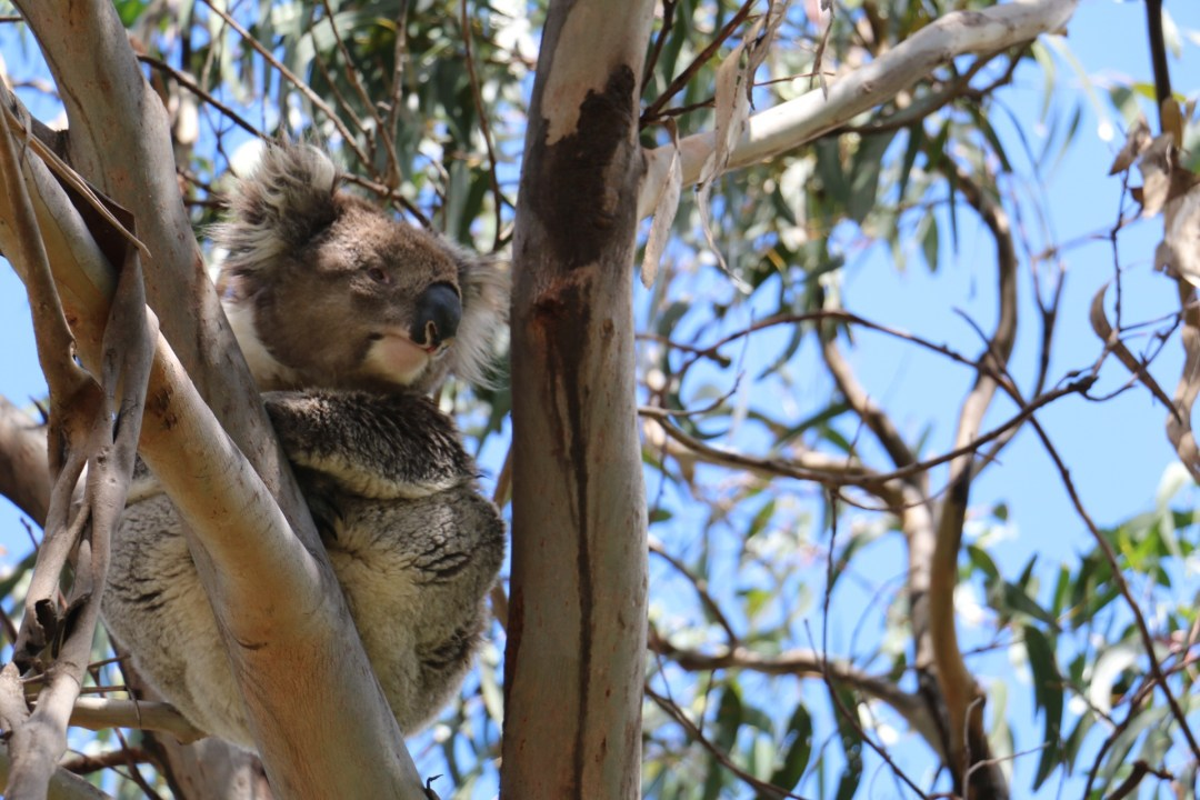 Great Ocean Road Koala | thebraidedgirl