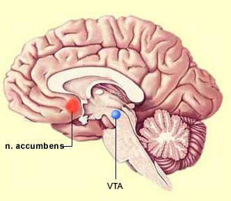 Schematic of brain showing the ventral tegmental area (VTA).
