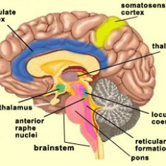 Reticular Formation Diagram 2016 Ford F150 Wiring Manual Original The Brain From Top To Bottom Is Also Associated With Consciousness In Minimal Sense Of Wakefulness Other Structures Involved Simply Maintaining