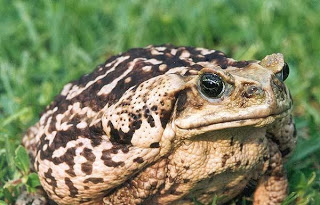 A light-coloured Cane Toad.  Photo Credit: Bill Waller, via Wikipedia