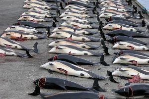800px-Whaling_in_the_Faroe_Islands