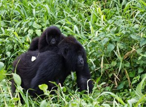 640px-Virunga_Mountain_Gorilla_1