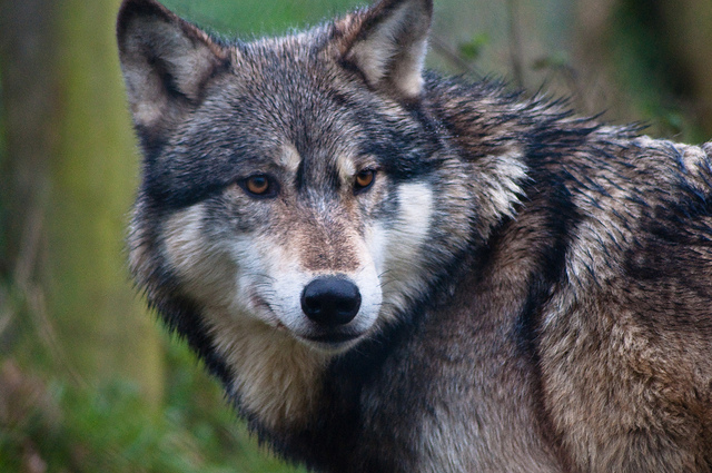 Wolves: the power of the pack