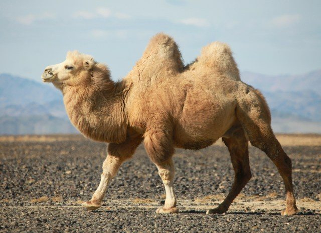 Camel Hump 6:9