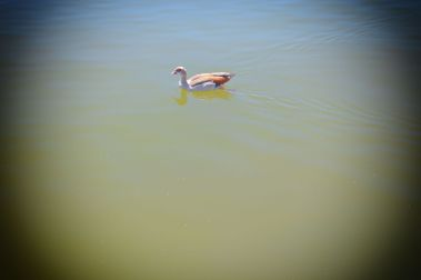 duck on the water 2