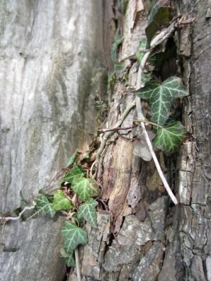 Ivy Detail