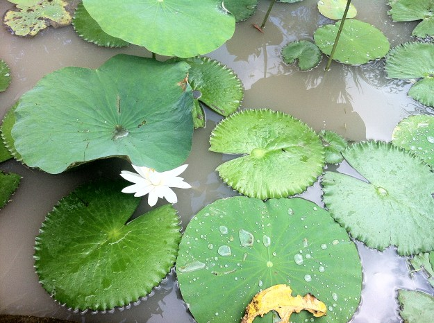 Check the weather if it's important to you. Waterlilies in peak season in Bali, Indonesia.
