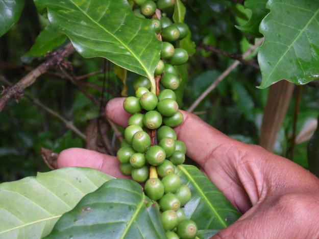 Green coffee beans. lots of green coffee beans. Smells and tastes like poo!