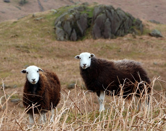 Sheep in Cumbria - North-West England!