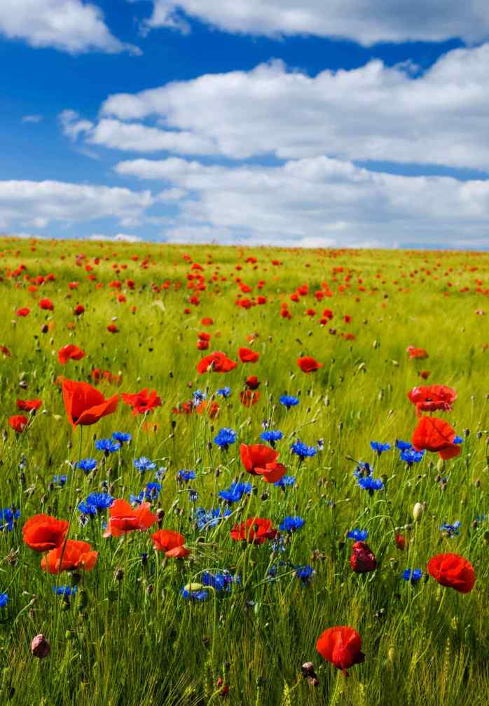 poppies; poppy; flowers; a field of poppies; red and blue poppies; red poppies; blue poppies; a field of flowers; a field; colourful flowers; a field of colour; colour; colourful; France; French; Europe; travel;