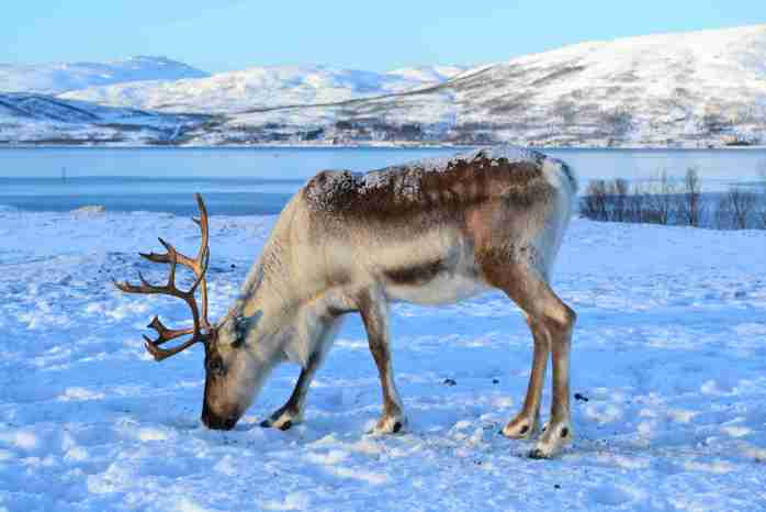 Tromso; reindeer; animal; Norwegian animal; Norway; Norwegian; Nordic; Europe; family travel; travel;