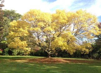 A yellow tree at Lincoln University