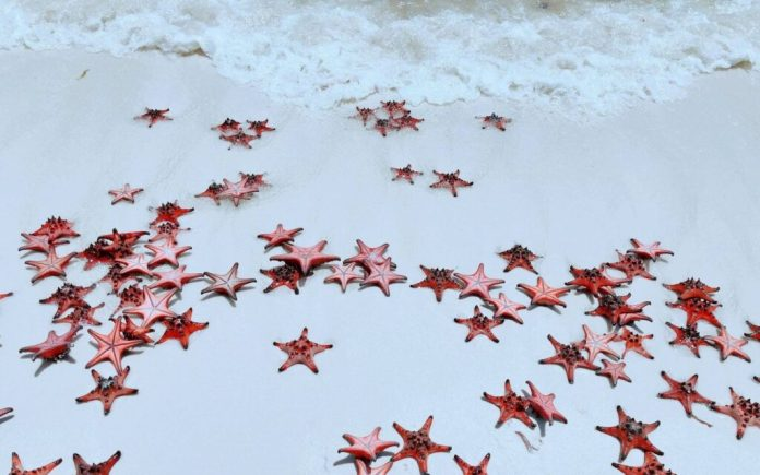 "Red Sea Stars at ""starfish kingdom"" Rach Vem Beach, Phu Quoc Island, Vietnam"
