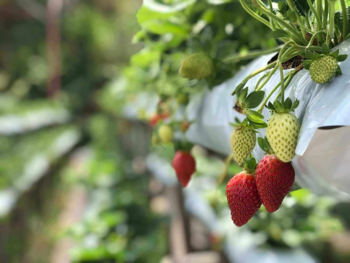 the strawberries at strawberry farms at Cameron Highlands
