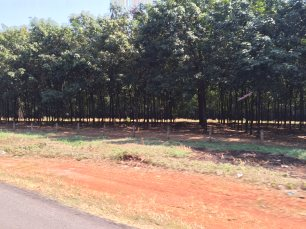 Rubber trees, the typical tree that can be found a lot at Binh Phuoc.